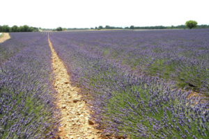 lavandes-provence-seminaire