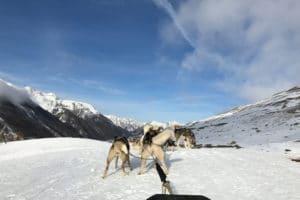 chiens-de-traineau-alpes-du-sud